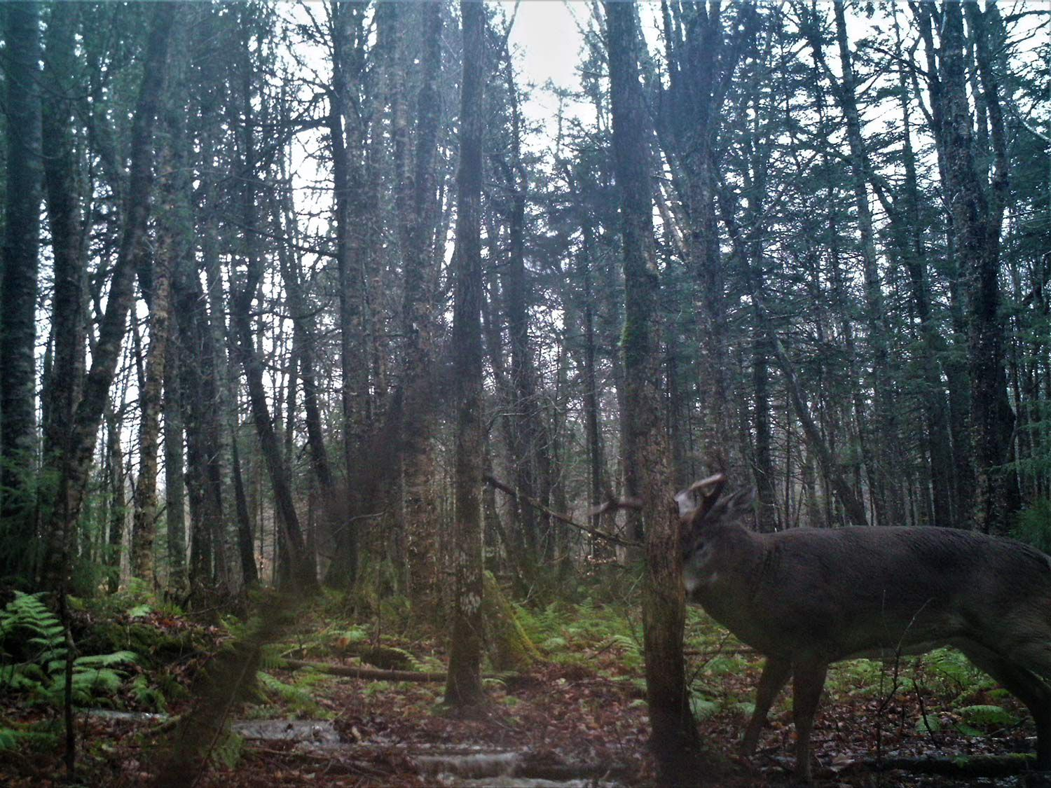 Mature bucks revisit age-old rubs in order to mark their territories with forehead gland scent.