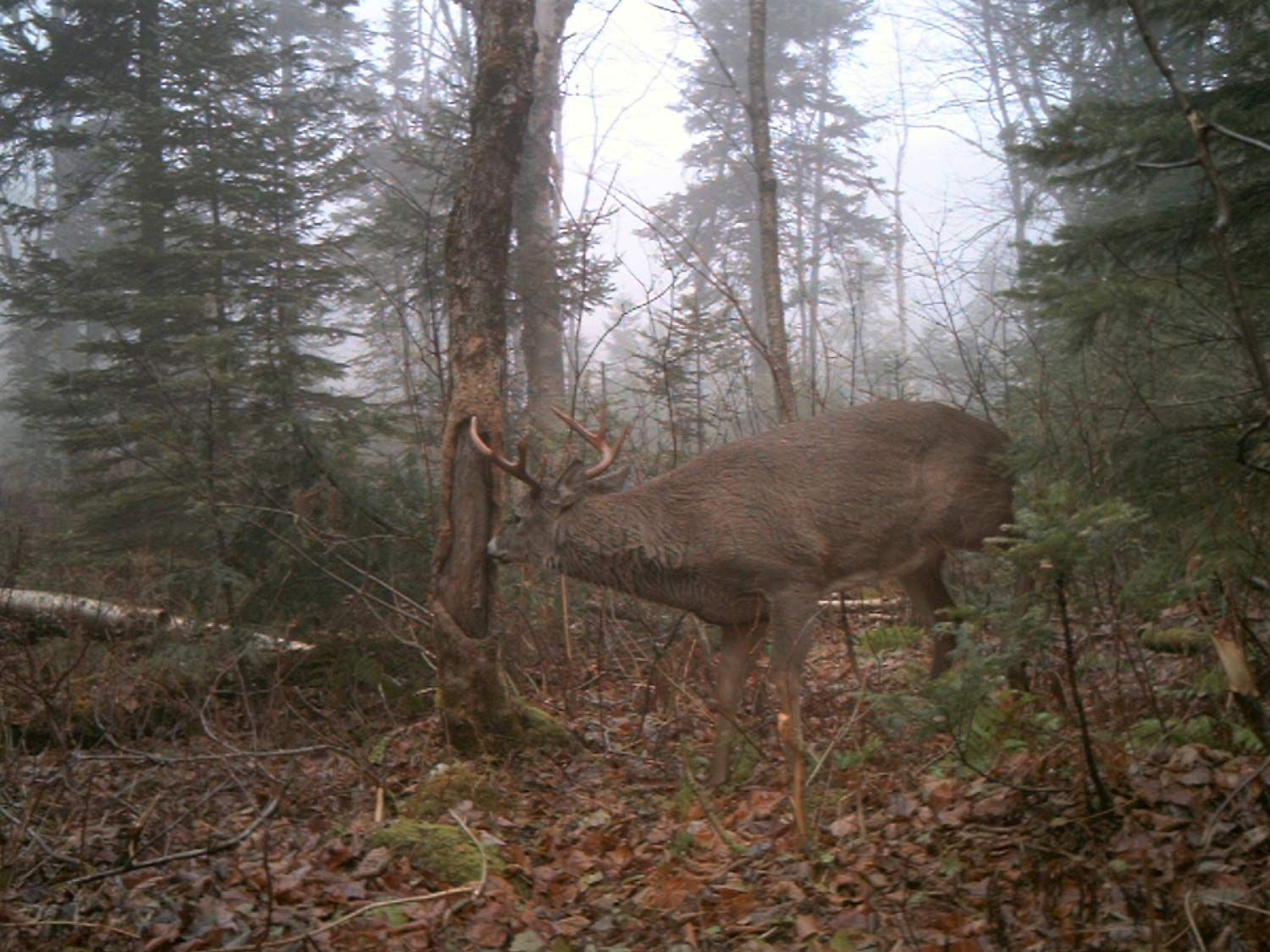 A mature Maine buck on a signpost rub.