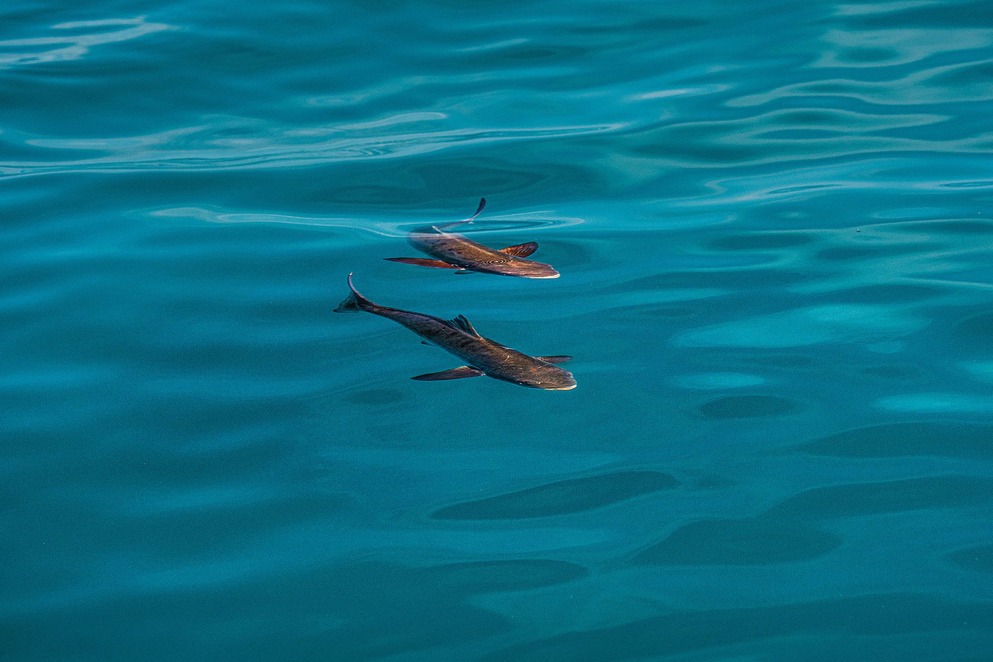 Notoriously curious, cobia routinely abandon caution and approach the boat in search of a meal.
