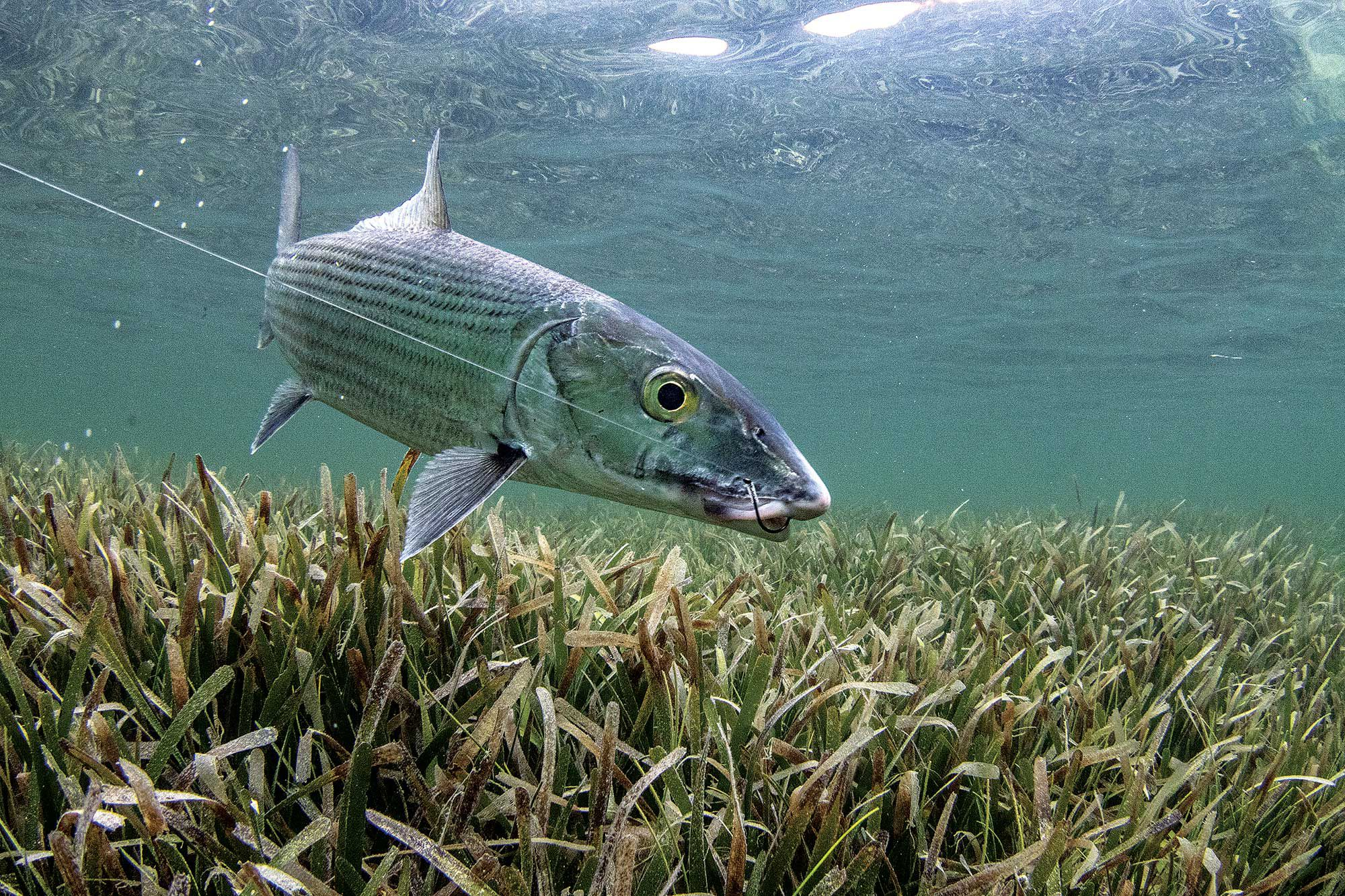 Biscayne's bonefish can be caught year-round; however, some ­bigger fish haunt the west side of the bay in winter. Anglers target bones with shrimp-tipped jigs or live bait on circle hooks.