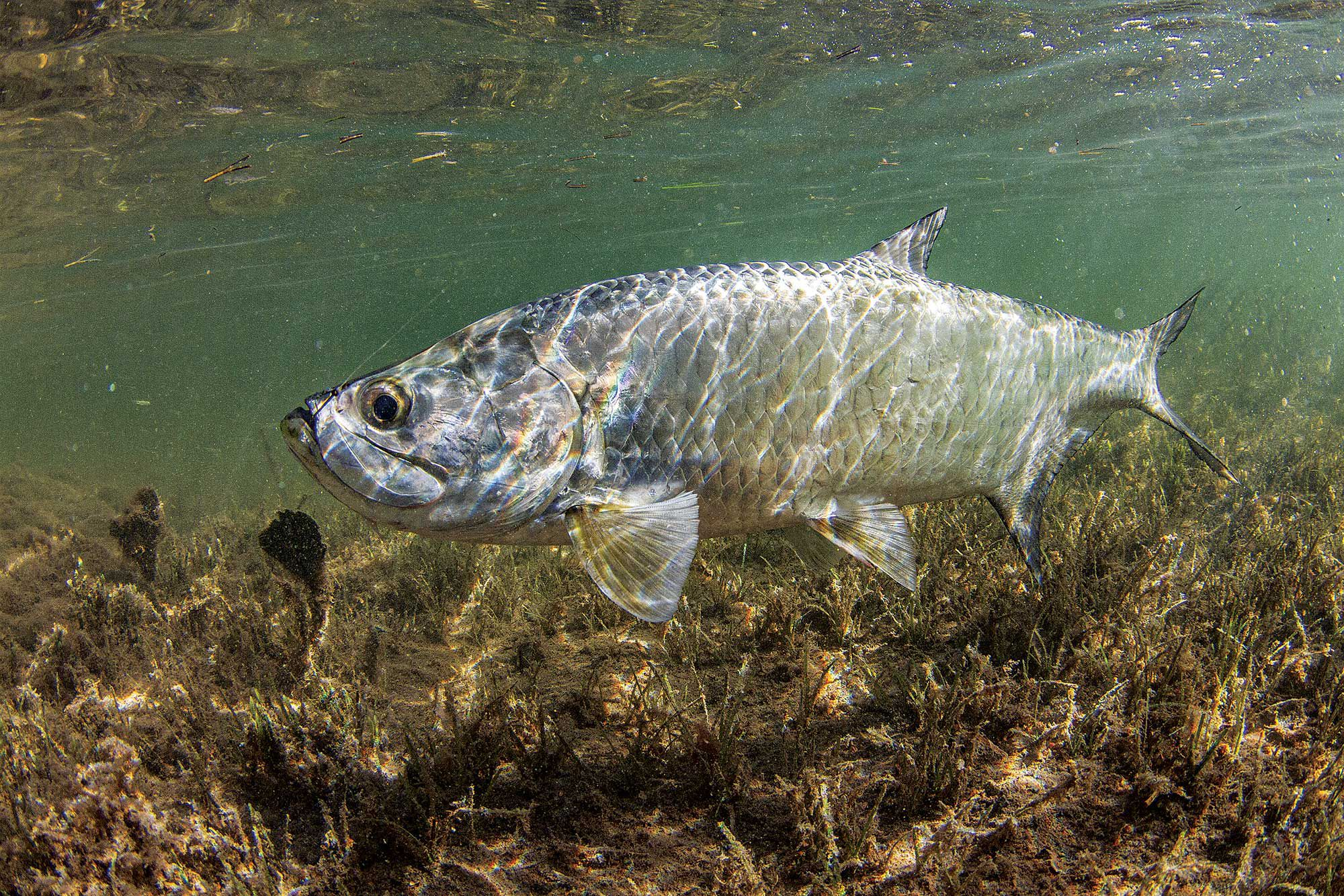 Tarpon swim throughout Biscayne before many migrate to the Florida Keys and beyond. Anglers target bridges, flats, channels and the inlet—Government Cut.