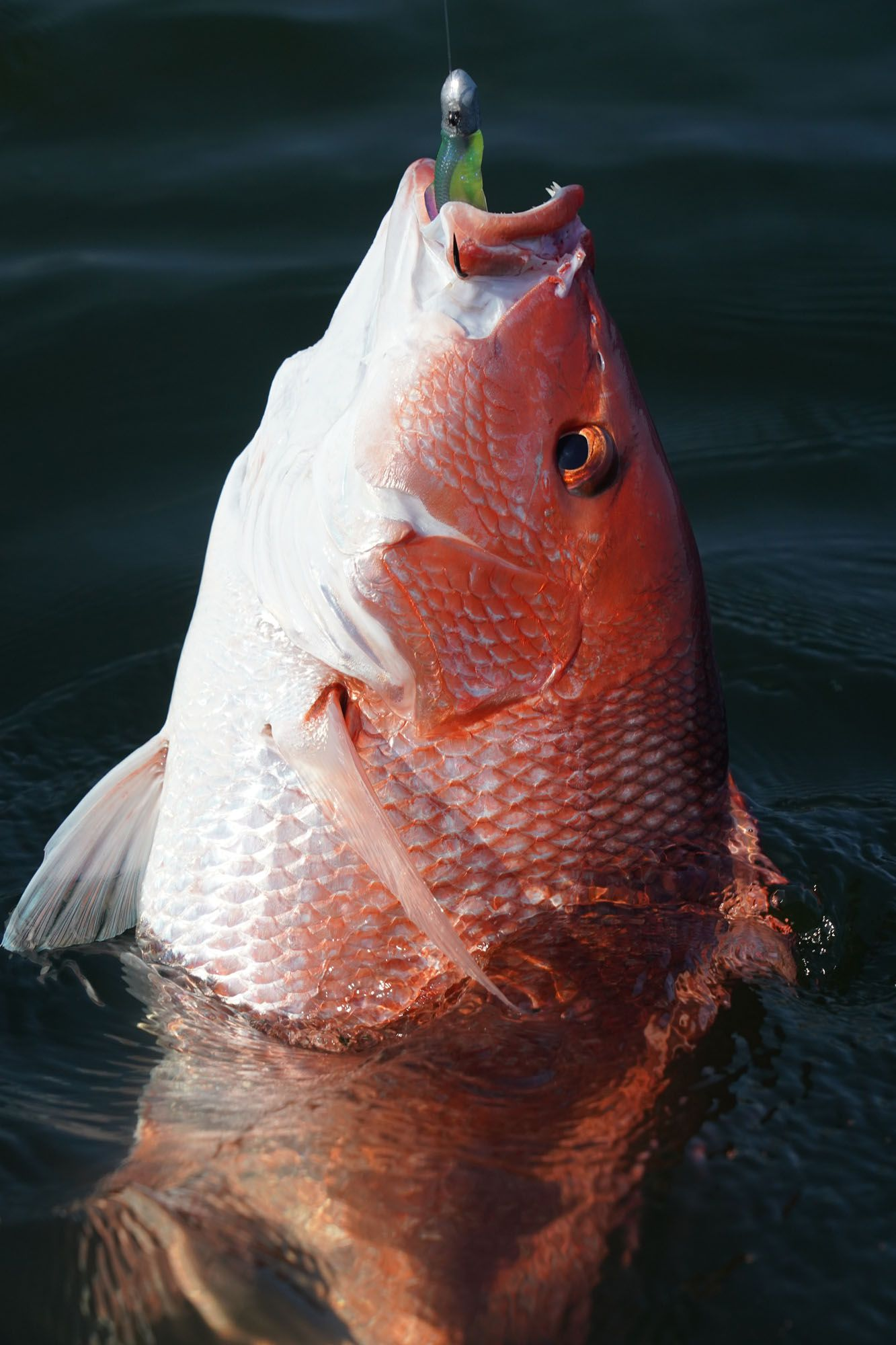 The next day, we continued to whack the red snapper, which definitely took a shine to these lures.